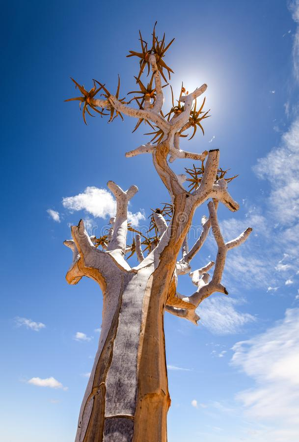 一美丽的颤抖树芦荟dichotoma的低角度视图在鱼河峡谷自然公园在纳米比亚,非洲 免版税图库摄影