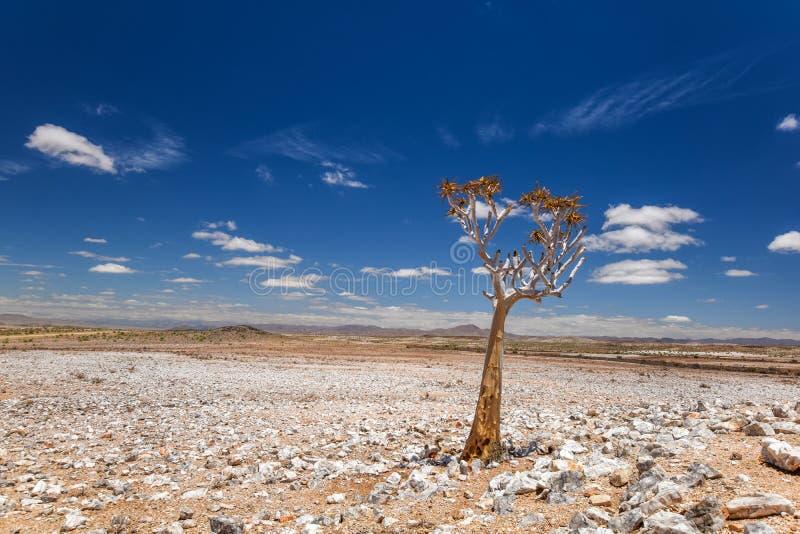一美丽的颤抖树芦荟dichotoma的全景在鱼河峡谷自然公园在纳米比亚,非洲 库存图片