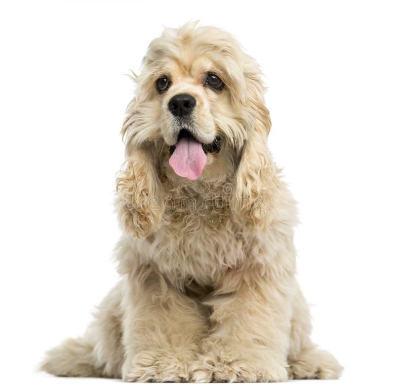 一美国美卡犬小狗气喘的正面图 库存照片