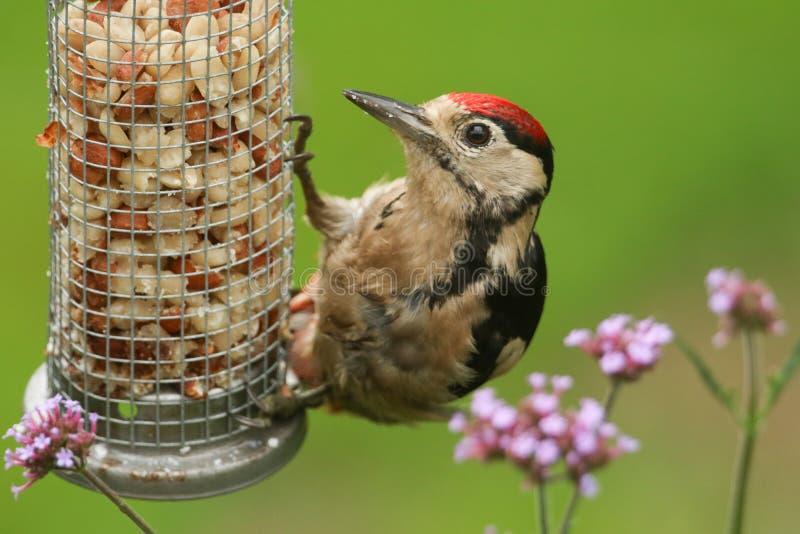 一美好少年伟大被察觉的啄木鸟Dendrocopos主要哺养从花生饲养者 免版税库存图片
