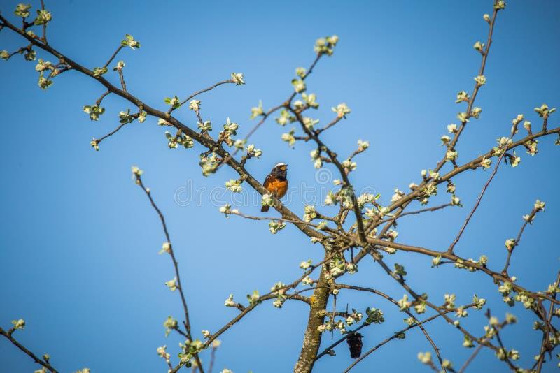一美好的共同的redstart坐苹果树分支和唱歌 _歌曲鸟在春天 库存照片