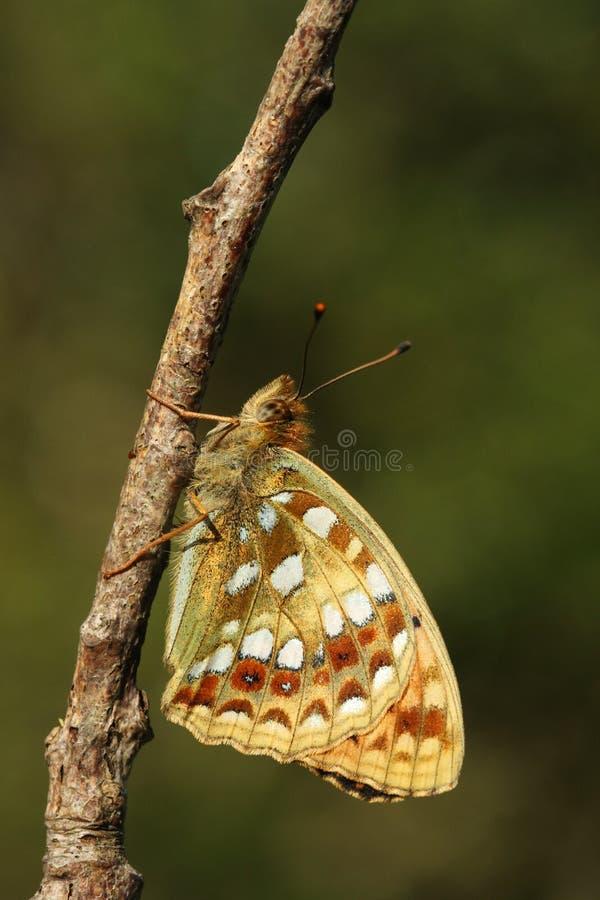 一美好的高布朗贝母蝴蝶Argynnis adippe的侧视图在枝杈栖息 库存照片