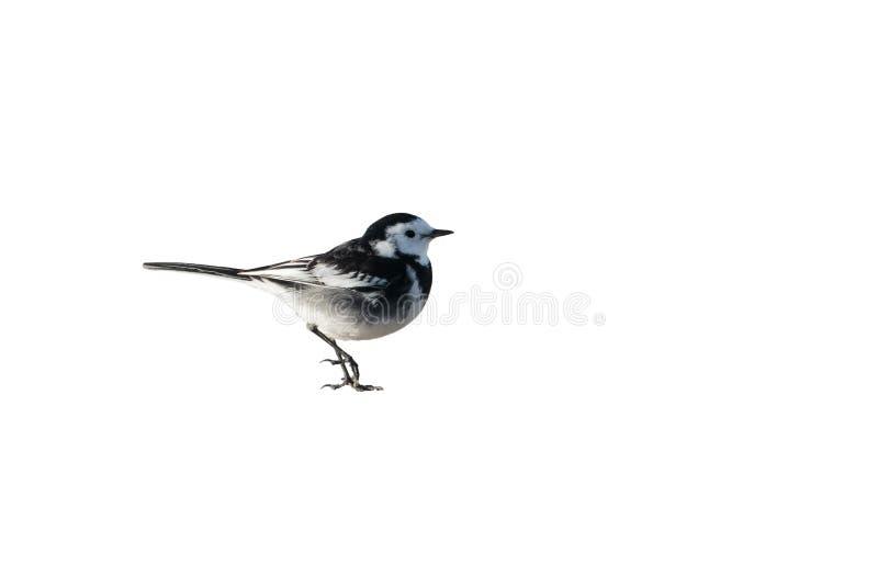 一群公染色令科之鸟, Motacilla晨曲yarrellii,保险开关 英国 免版税图库摄影