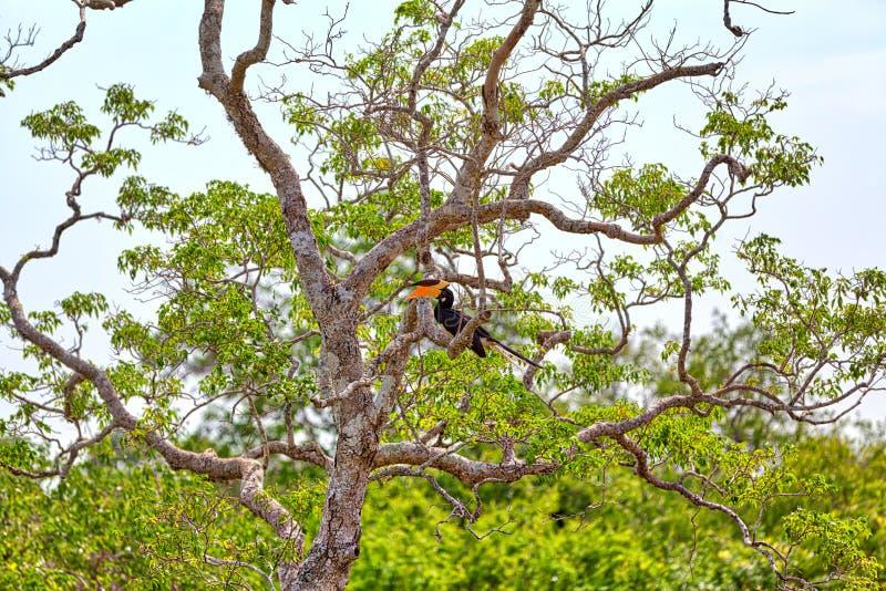 一群华美的伟大的印地安犀鸟,异乎寻常地在比喻的鸟从犀鸟的家庭 库存图片