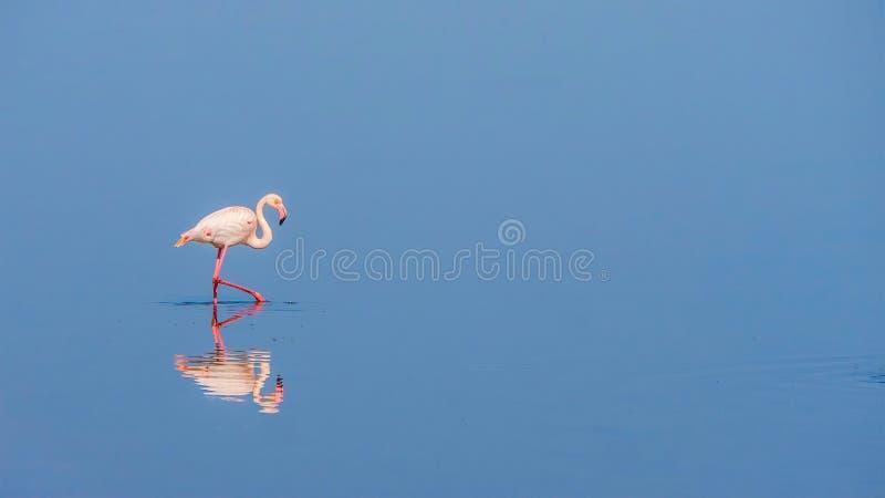 一群孤零零桃红色火鸟涉过通过浅大海 库存照片