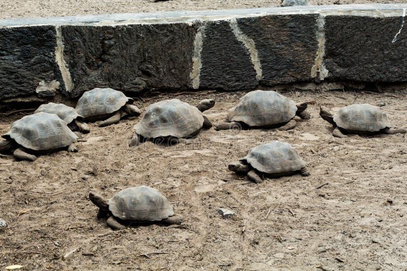 一群年轻的加拉帕戈斯海龟在田野里行走。加拉帕戈斯群岛保护中心的中年龟 库存图片