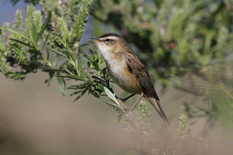 一群惊人的薹鸣鸟,尖头畸型schoenobaenus,在柳树唱歌栖息 免版税库存图片