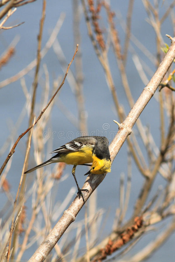 一群明亮的柠檬色令科之鸟的男性在他自己引起注意坐分支 免版税库存照片