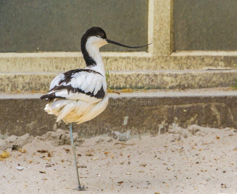 一群染色长嘴上弯的长脚鸟的特写镜头画象,从欧亚大陆的普遍的涉水鸟,与一张滑稽的弯曲的票据的鸟 免版税库存图片
