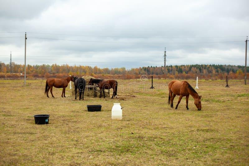 一群美丽的马在篱笆后的草堆旁的秋草丛中吃草 免版税库存照片