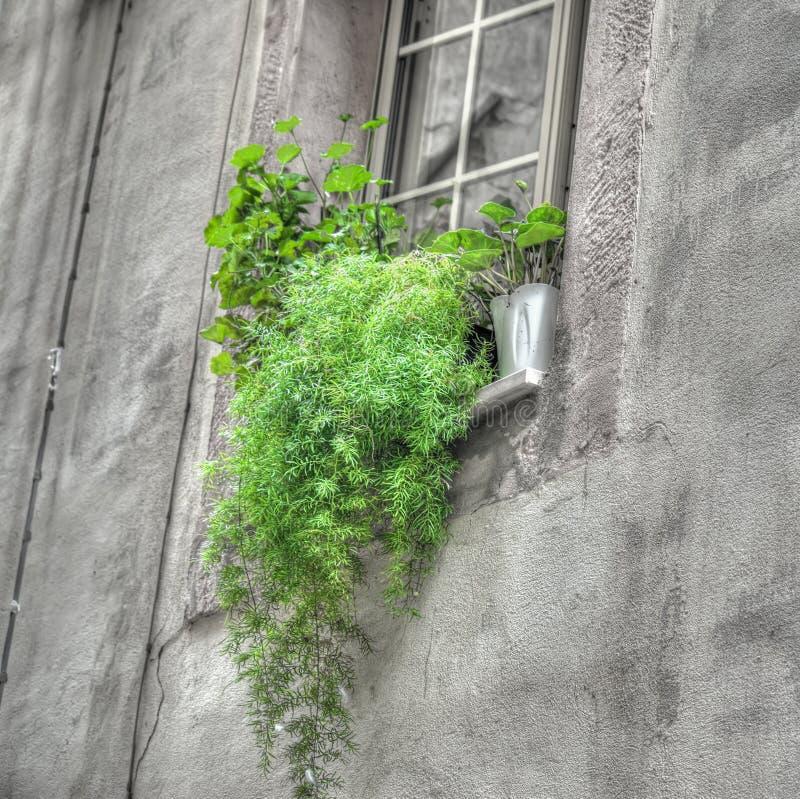 一老窗口sil的绿色植物 免版税库存照片