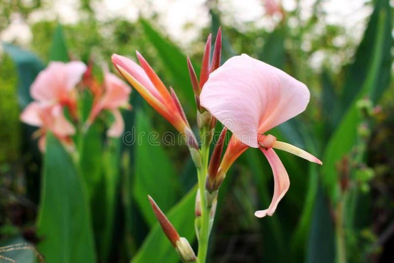 一般叫作印地安射击或Canna百合开花,关闭Canna印度花的美好的老玫瑰色的颜色或 免版税图库摄影