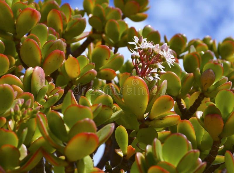 一般叫作玉在天空蔚蓝背景的植物或金钱树多汁植物的景天树ovata 库存图片