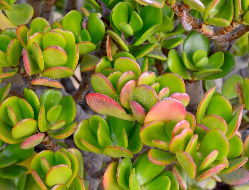 一般叫作玉植物、友谊树、幸运的植物或者金钱树的景天树ovata多汁植物关闭  免版税库存照片