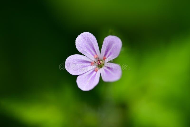 一般叫作草本罗伯特、红色罗宾, Fox大竺葵或者罗伯特大竺葵的大竺葵robertianum美丽的小的花 免版税库存图片