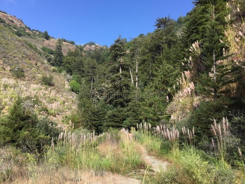 一般叫作蒲苇大瑟尔峡谷的Cortaderia selloana 库存图片