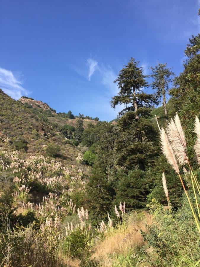 一般叫作蒲苇大瑟尔峡谷的Cortaderia selloana 库存照片