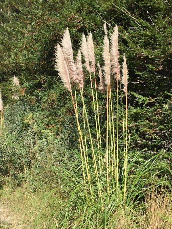 一般叫作蒲苇大瑟尔峡谷的Cortaderia selloana 免版税图库摄影