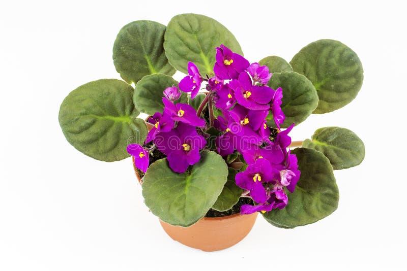 一般叫作非洲紫罗兰帕尔马紫罗兰的紫罗兰色非洲堇花关闭隔绝 免版税库存图片
