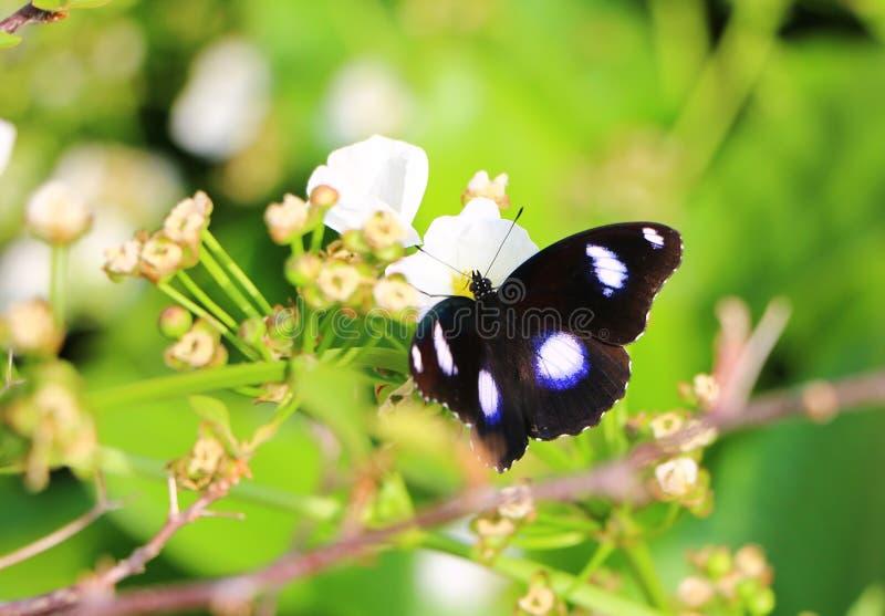 一般叫作eggfly的伟大的eggfly butterlies Hypolimnas bolina 库存图片