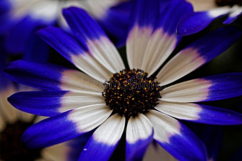 一蓝色和白色Pericallis的宏观图片x Hybrida 免版税库存照片