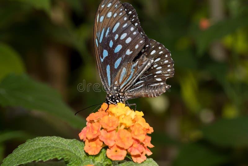 一蓝色有斑点蹒跚而行直接地坐与它的象鼻的橙色开花饮用的花蜜 库存照片