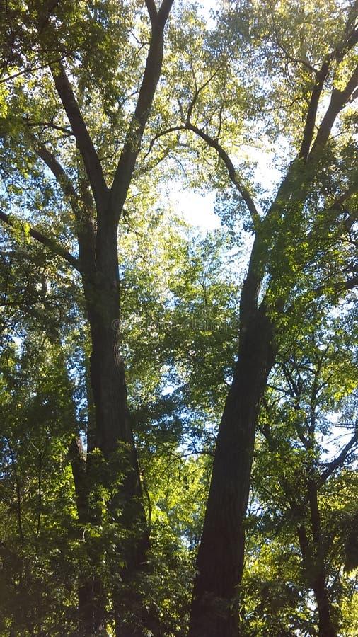 一起两棵树在Fridley Mn的密西西比河附近 库存照片