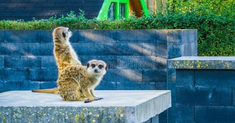 一起两meerkats小组动物画象在看往照相机的杆一 免版税库存照片