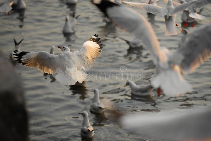 一起会集在海滨等待的食物,Samutprakarn,泰国的海鸥 库存照片