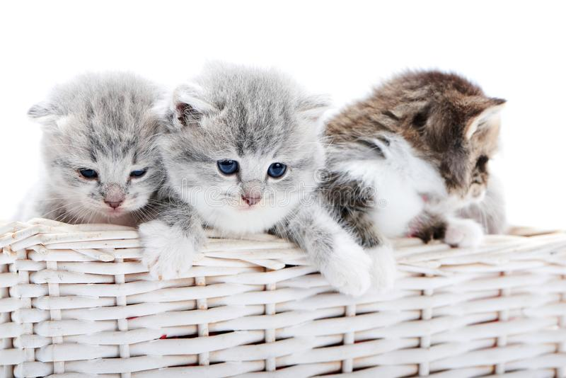 一起使用在白色背景的白色柳条筐的小的新出生的蓬松可爱的小猫在照片演播室 免版税库存图片