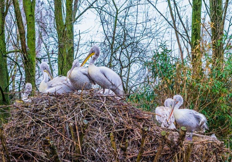 一起充分巢达尔马希亚鹈鹕,在从欧洲的被威胁的鸟附近,鹈鹕家庭在他们的巢 免版税库存图片