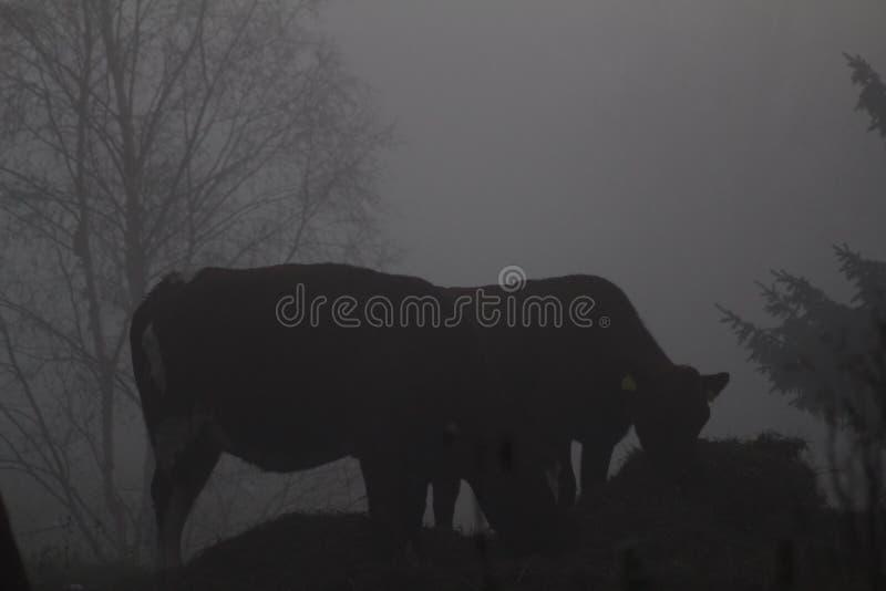 一起吃的母牛 深刻的薄雾秋天 图库摄影