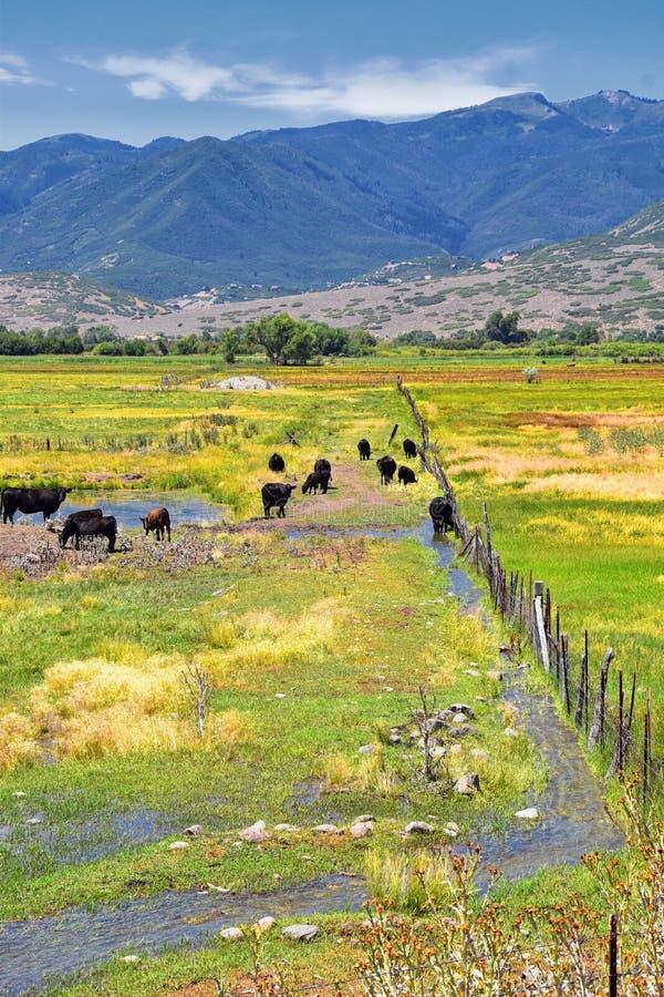 一起吃草在和谐中的母牛牧群在一个农村农场在Heber,沿Wasatch前面落矶山的后面的犹他 库存照片