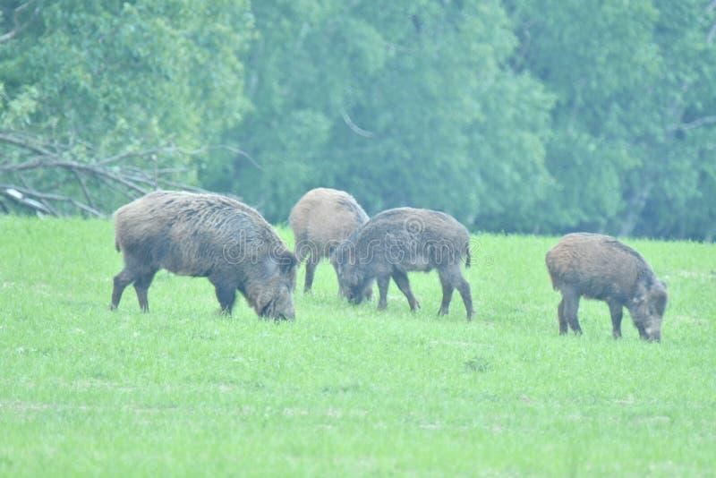 一起吃草在medow的野生生物野公猪和鹿 免版税库存图片
