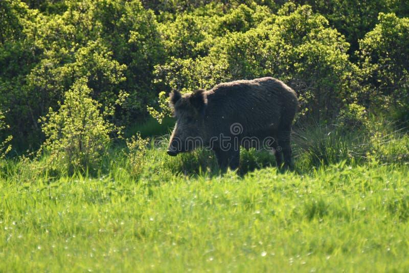 一起吃草在medow的野生生物野公猪和鹿 库存照片