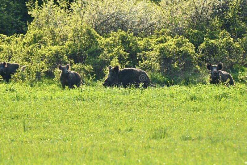 一起吃草在medow的野生生物野公猪和鹿 库存图片