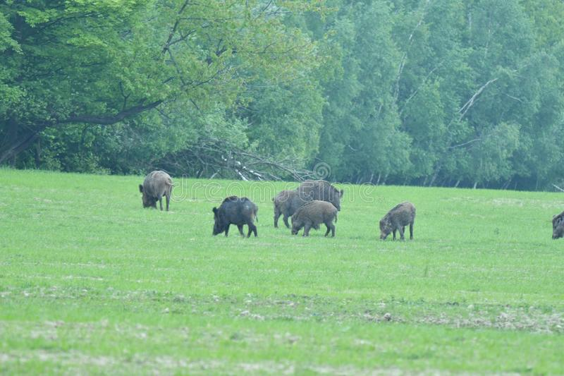 一起吃草在medow的野生生物野公猪和鹿 免版税库存照片
