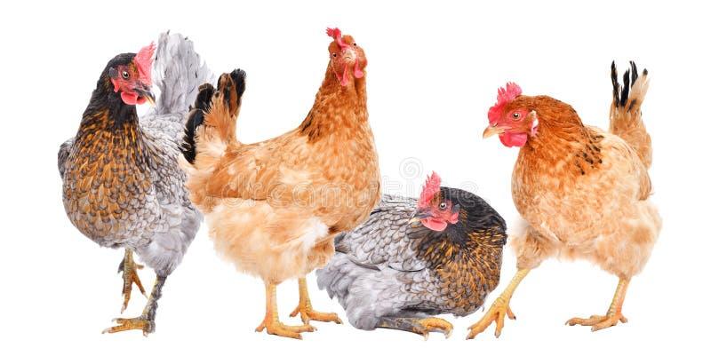 一起四只母鸡 图库摄影