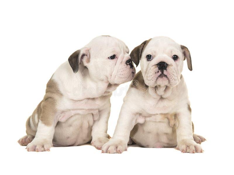 一起坐一的两条逗人喜爱的棕色和白色英国牛头犬小狗看看另一只小狗的照相机一喜欢 库存图片
