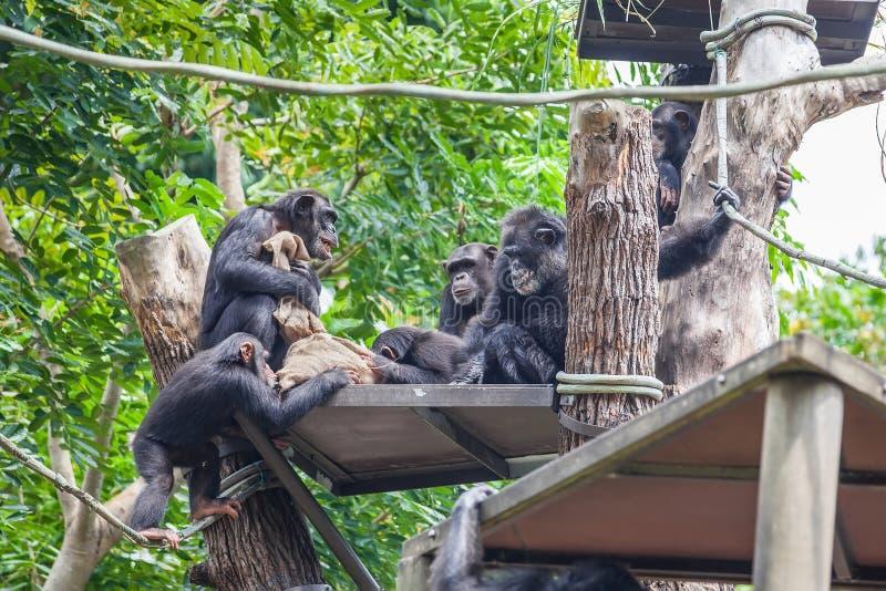 一起坐的小组黑猩猩 免版税库存照片