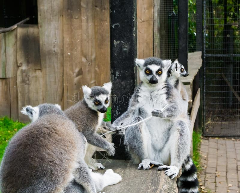 一起坐的环纹尾的狐猴家庭,一个小组从马达加斯加的危险的猴子 免版税图库摄影