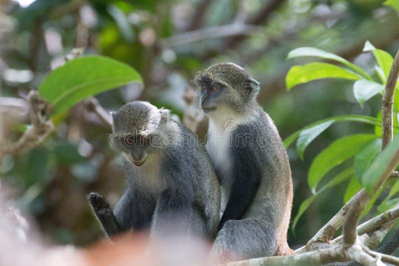 一起嬉戏地坐希克斯的猴子 库存照片