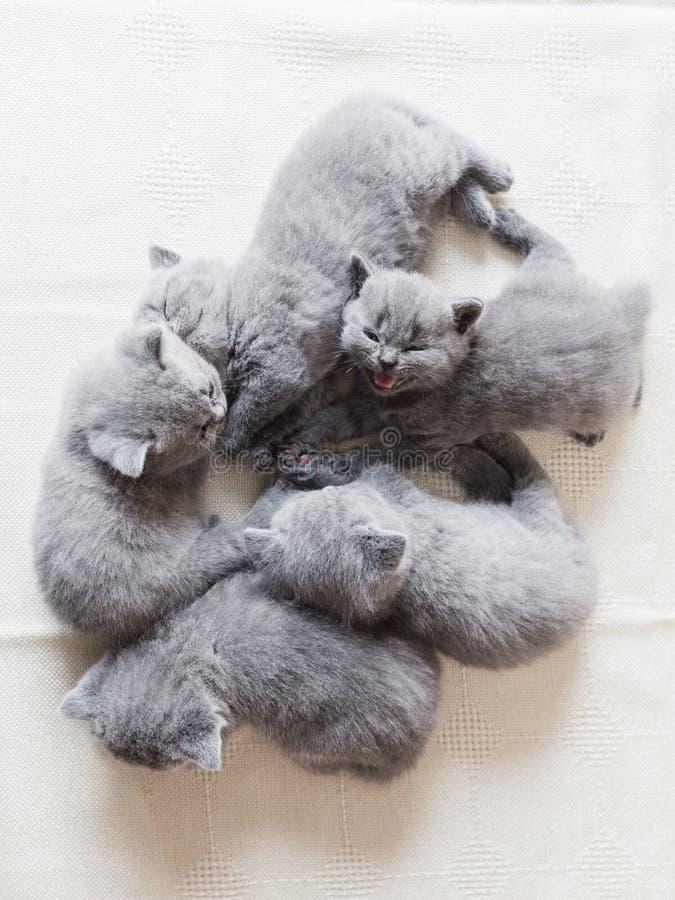 一起放置可爱的猫 英国shorthair 库存图片