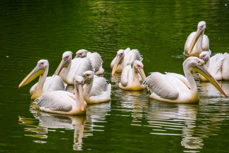 一起游泳在水,从欧亚大陆的共同的水禽硬币中的玫瑰色鹈鹕大家庭  免版税库存照片