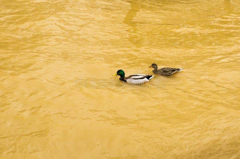 一起游泳由一条充斥的罗阿诺克河的一个对联接的野鸭鸭子 免版税库存照片
