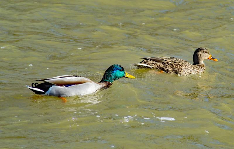 一起游泳由一条充斥的罗阿诺克河的一个对联接的野鸭鸭子 图库摄影