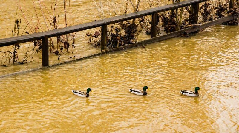一起游泳由一条充斥的罗阿诺克河的三只野鸭鸭子 库存照片