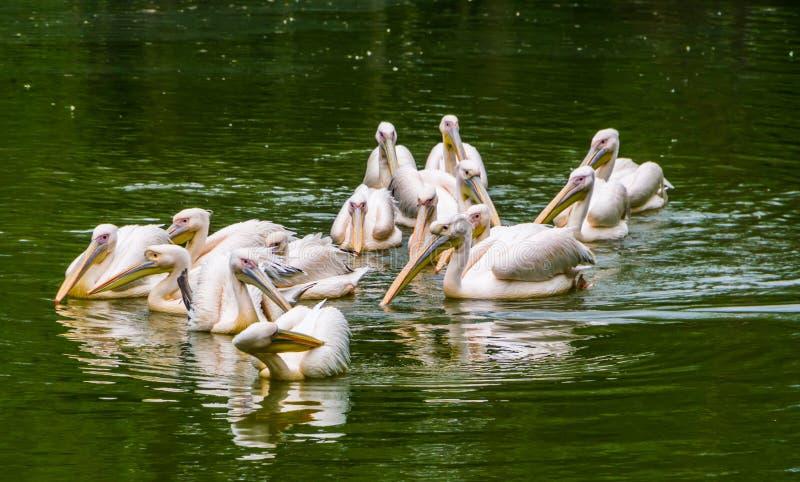 一起漂浮在水中的大小组伟大的白色鹈鹕,从欧亚大陆的共同的水禽硬币 库存照片