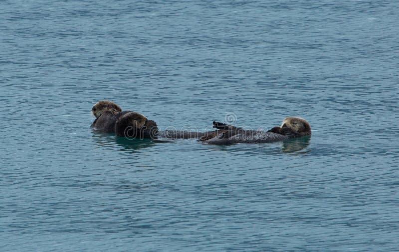 一起漂浮的海獭 免版税库存图片