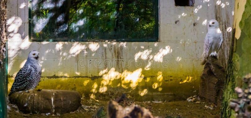 一起男性和母多雪的猫头鹰在鸟舍,从欧亚大陆的白色猫头鹰 图库摄影